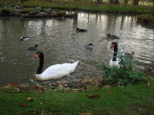 Black-neck swans and friends in the Bentley Wildfowl Reserve