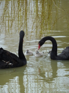 Black swans on the bentley Reseve with their cygnets last Spring.